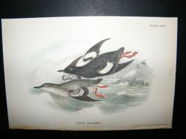Allen 1890's Antique Bird Print. Black Guillemot